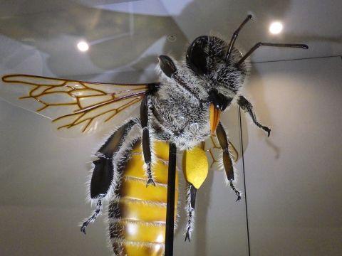 大阪市立自然史博物館2019年7月下旬2 ミツバチの約200倍模型