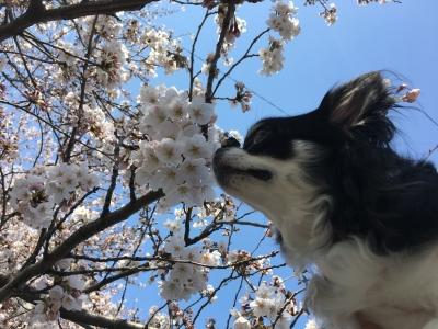 180325チロルと桜
