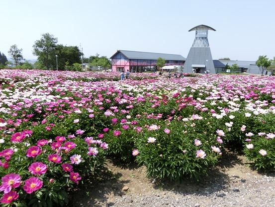 色麻町に芍薬を観に行ってきました   季節の風を感じ畑仕事も ...