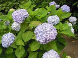 紫陽花園D