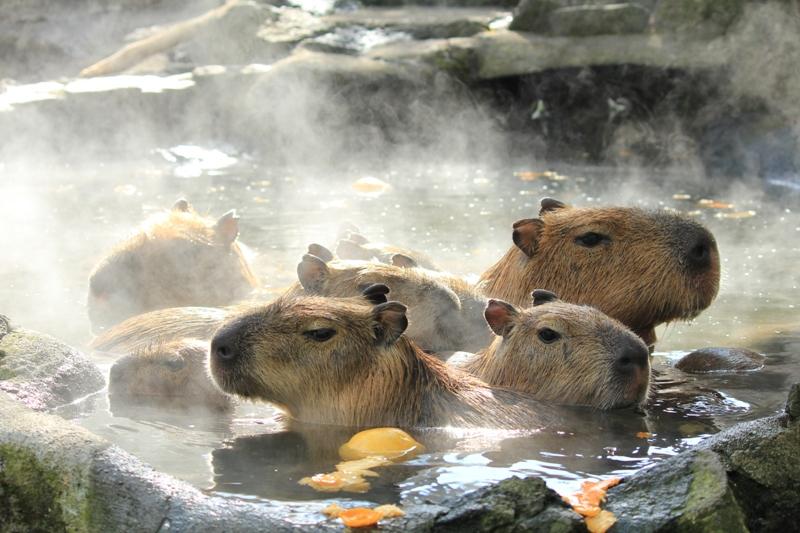 カピパラの露天風呂 シャボテン公園