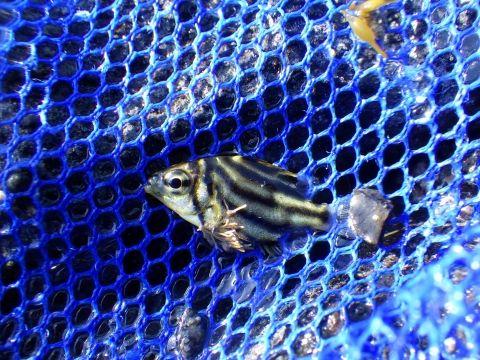 串本磯採集2018年6月上旬50 カゴカキダイ(Microcanthus strigatus)