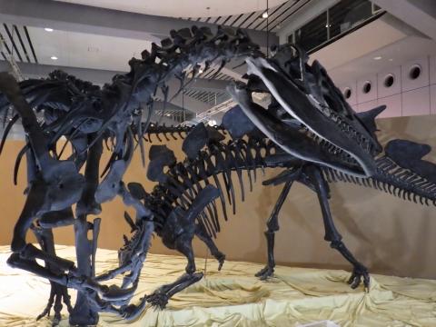 恐竜展2017巨大化の謎にせまる24 アロサウルスとステゴサウルスの全身骨格
