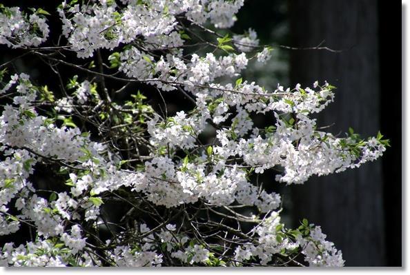 樹木公園-44 望月桜-1 16.4.9