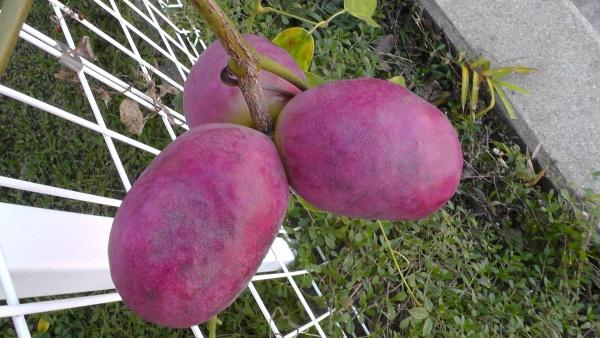 赤紫に熟したムベの実