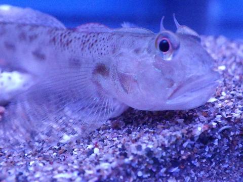 カマヒレマツゲハゼ(Oxyurichthys cornutus)3