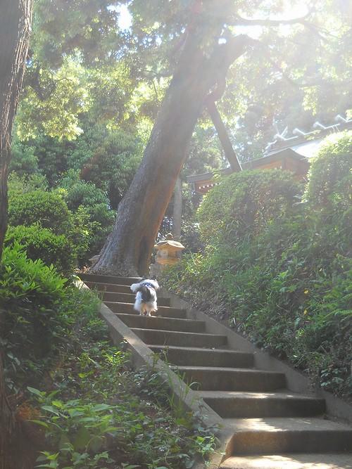 20130505 熊野神社の階段を上るジュン