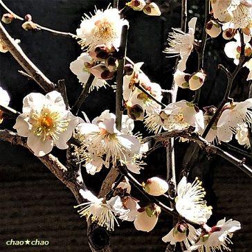 かいな 梅 たか は まだ 桜 は 咲い