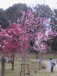 140329_赤・桃・白の桃の花