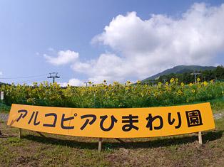01himawari.JPG