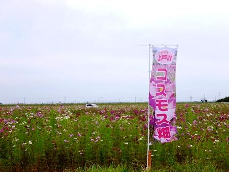 201710コスモス1.jpg