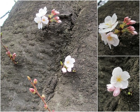 お花見2013.jpg