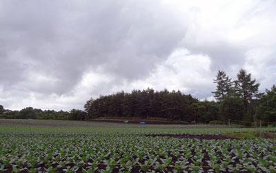 2016.6.24キャベツ畑