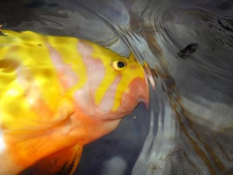 シマハタ(Cephalopholis igarashiensis)63 深海魚飼育 Neptune grouper