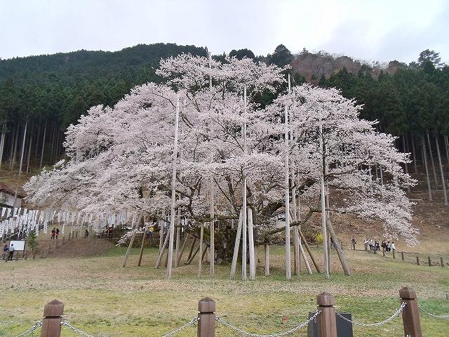 根尾淡墨桜
