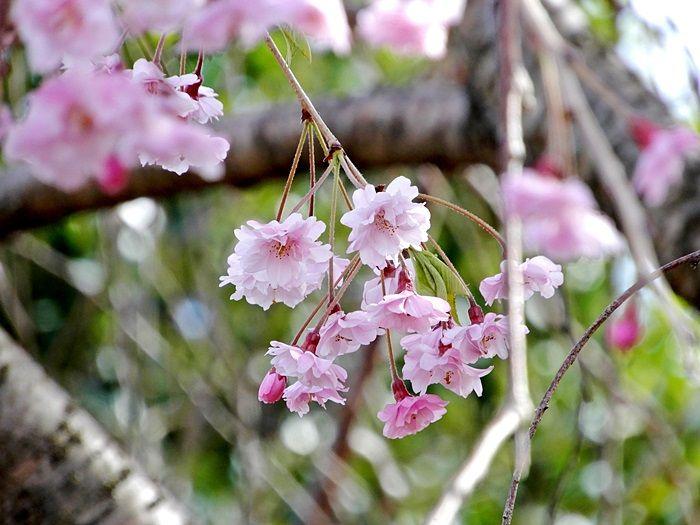 八重枝垂れ桜3