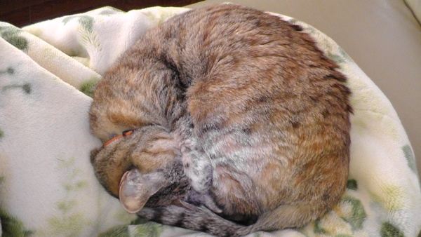 猫が前足で顔を隠して寝る理由