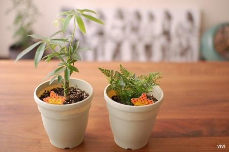 カポック 100均 100円均一 しのぶ ダイソー 観葉植物 大きく 成長 買った 買いました
