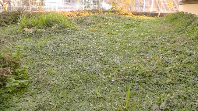庭のクラピア(イワダレソウ)