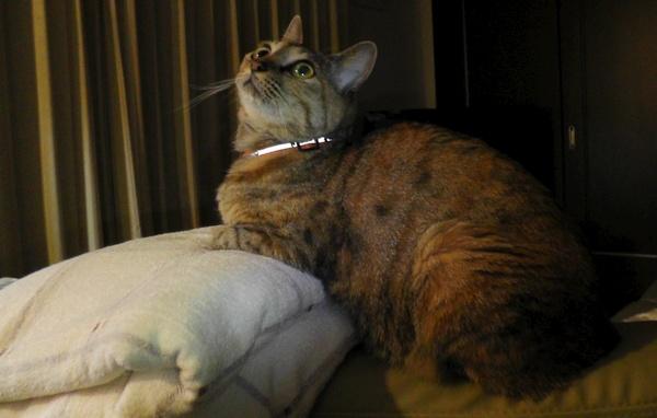 上を見るネコ 猫 ねこ ネコ