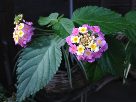 1花ピンク4502.jpg