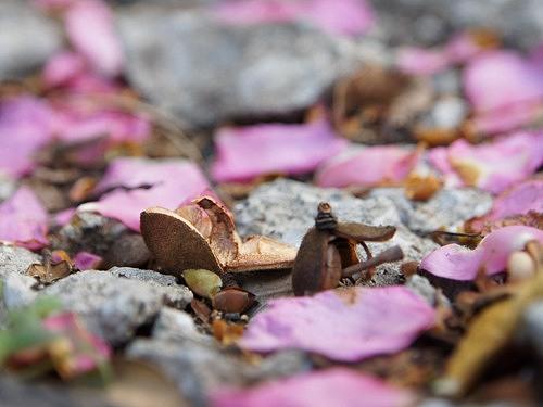 山茶花のタネ