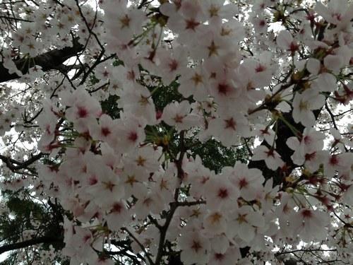 1桜4月3日5005.jpg