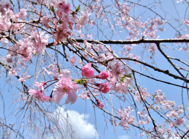 七越峰森林公園 本宮大社 桜 花見 和歌山 穴場