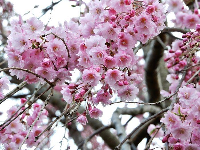 八重枝垂れ桜2