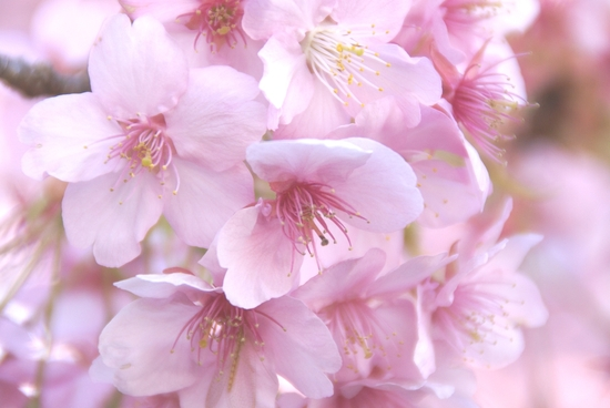 桜1-thumb-550x368.jpg