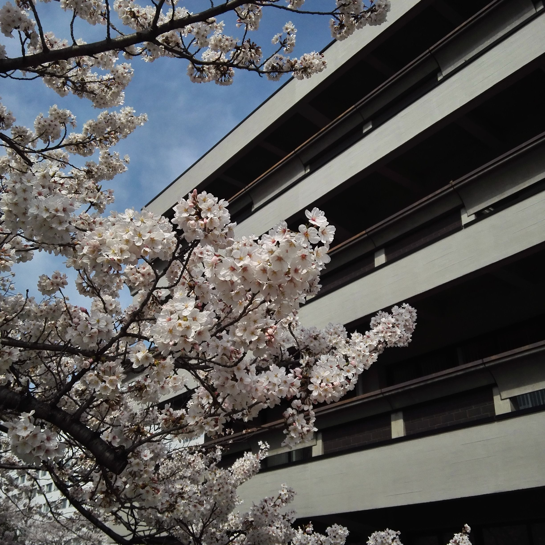 国立国会図書館_桜_up