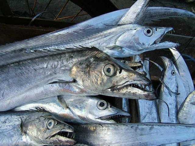 s-太刀魚.jpg