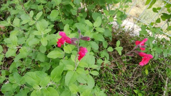 チェリーセイジの花