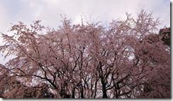 六義園しだれ桜.png