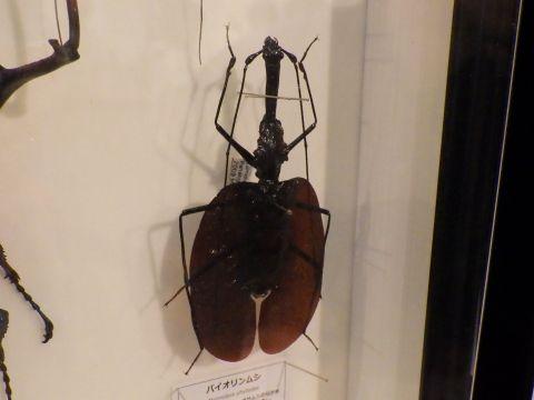大阪市立自然史博物館2019年7月下旬20 バイオリンムシの標本