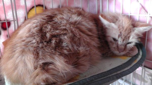 子猫 長毛 きなこ
