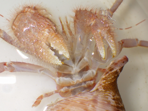 タンカクホンヤドカリ(Propagurus obtusifrons)13 ヨコヤホンヤドカリ オス