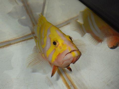 シマハタ(Cephalopholis igarashiensis)89 深海魚飼育 ネプチューングル―パー