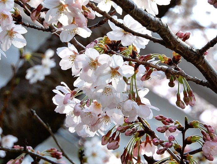並木の桜2