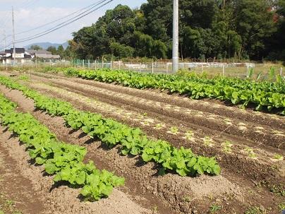 2013年11月 今年の冬野菜.jpg
