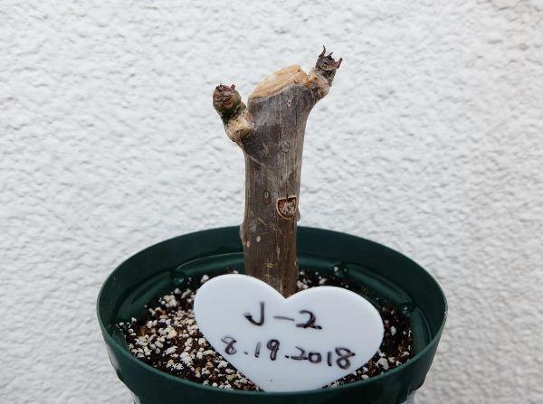 プルメリア 棒苗 実生 種
