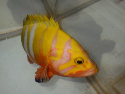 シマハタ(Cephalopholis igarashiensis)82 深海魚飼育 ネプチューングル―パー