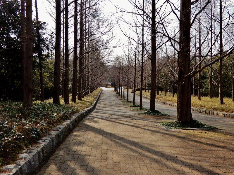 メタセコイア並木14