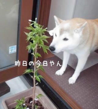 0411子孫sakura1.jpg