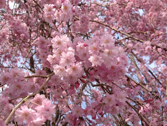 2枝垂れ桜全体5501.jpg