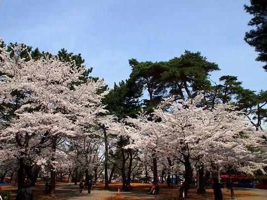 大宮公園の桜と赤松.JPG