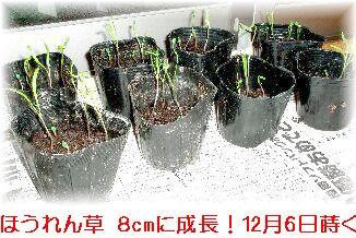 ほうれん草 種蒔く