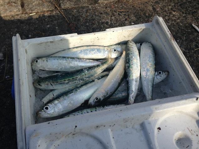 日明海峡釣り公園 イワシ