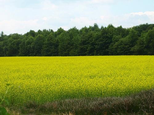 2012菜の花畑.jpg