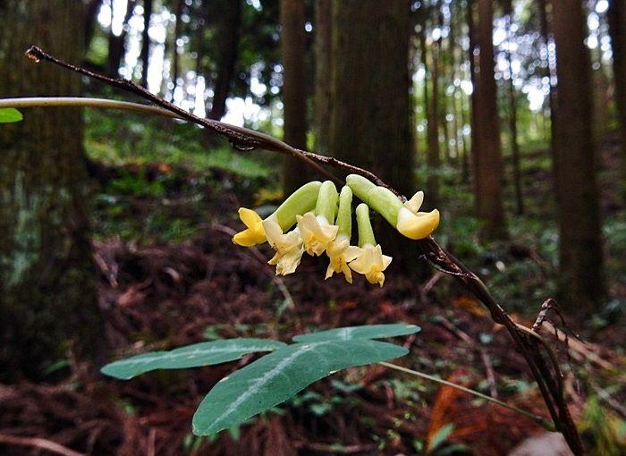 ノササゲの花